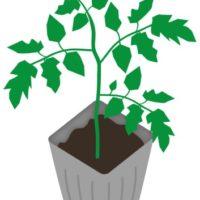 トマトのうどん粉病になる原因と対策を提案、無農薬で作れるスプレー