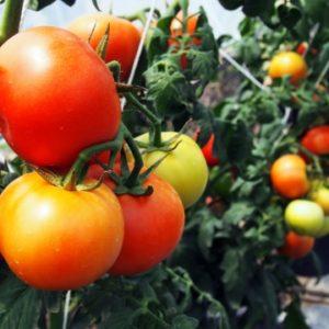 トマトの茎が折れた時にどうすればいい?復活のさせかた教えます