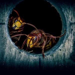 スズメバチの駆除方法、もし巣を発見したら退治したその後にもご注意