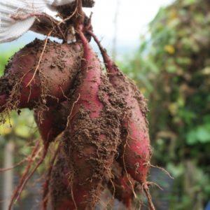 さつまいものつるの処理は?おすすめ利用法と収穫後の畑に植えたい物