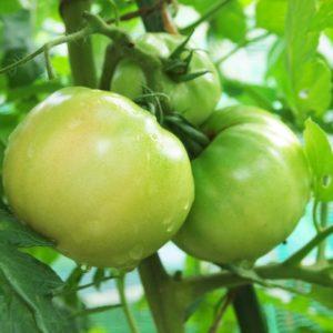 トマトの摘果の方法とタイミングはいつ?取った青い実は食べられる?