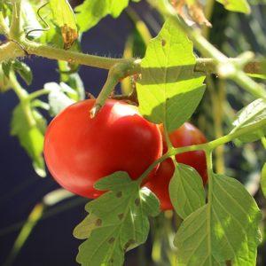 トマトの水やりは地植えの場合必要?夏場や植え付け直後の頻度は?