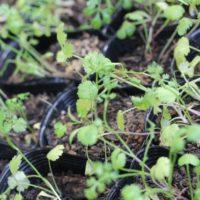 パクチーを栽培したらひょろひょろに!茎が細い場合は?育て方のコツ