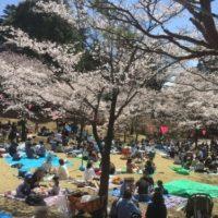 八幡山公園のお花見混雑情報。穴場の場所は?駐車場が埋まるのはいつ?