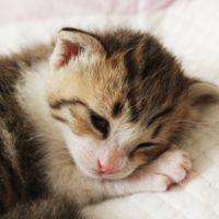 子猫の体重が減っていく・・70gまで減った子が回復するまでの体験記